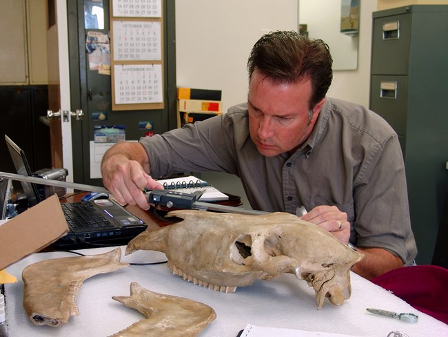 scientist measuring a fossil skull