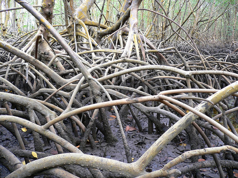 A close-up photo of dozens of twisted mangrove roots