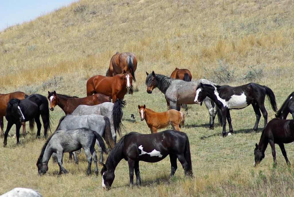 Wild (feral) horses at a foal in Theodore Roosevelt National Park