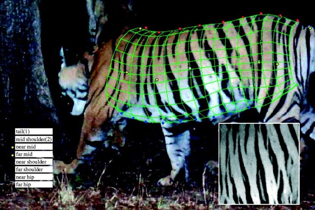 a computerized grid overlays a tiger's stripes to identify it