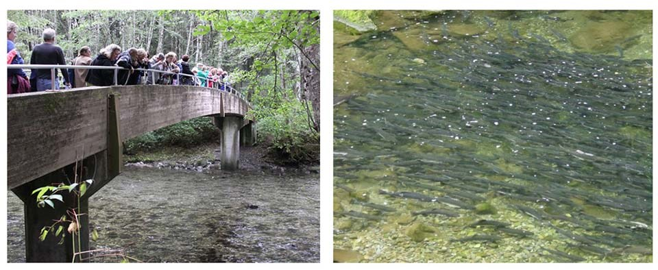 A pair of images: the first is people looking at fish from a bridge, the other is fish thick in the river.