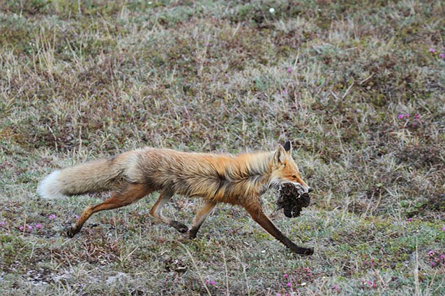 a fox carrying several dead voles in its mouth
