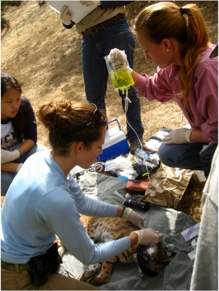 Researchers administering fluids to a bobcat in the field
