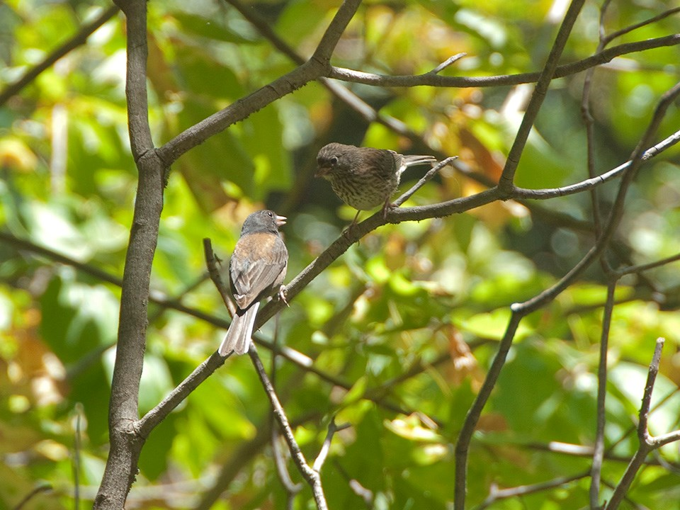 A pair of Dark-Eyed Juncos perch in a tree at John Muir National Historic Site