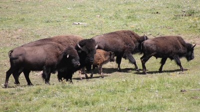 Four adult bison and one calf walk together on a grassy field