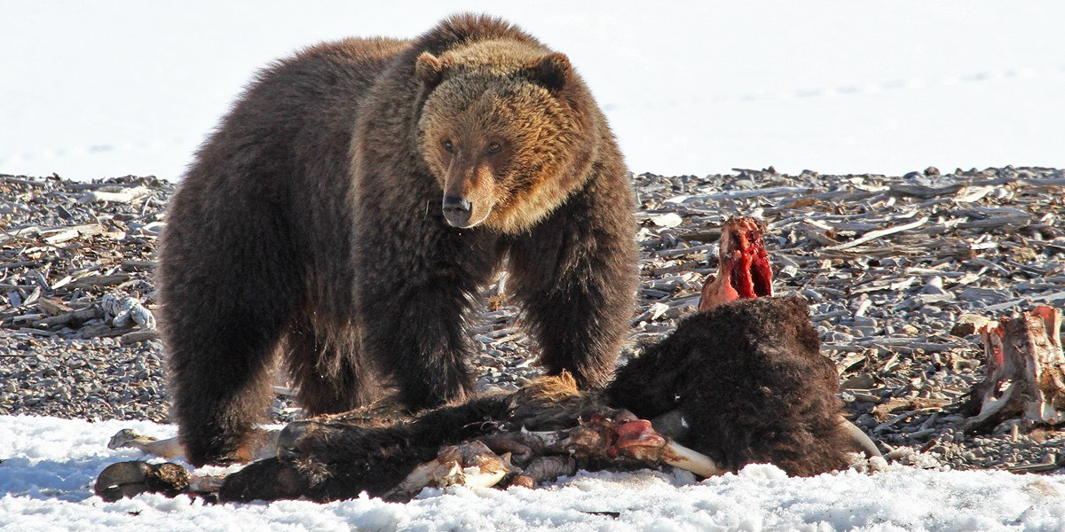 a grizzly bear feeding on a bison carcass