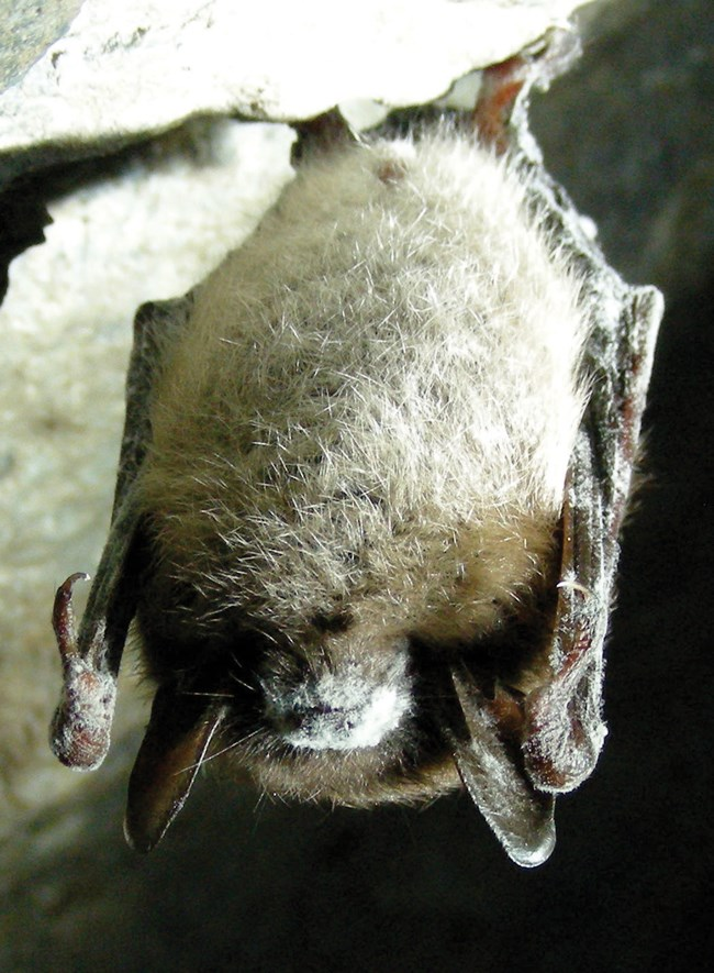A bat hanging upside down with white fungus on its snout
