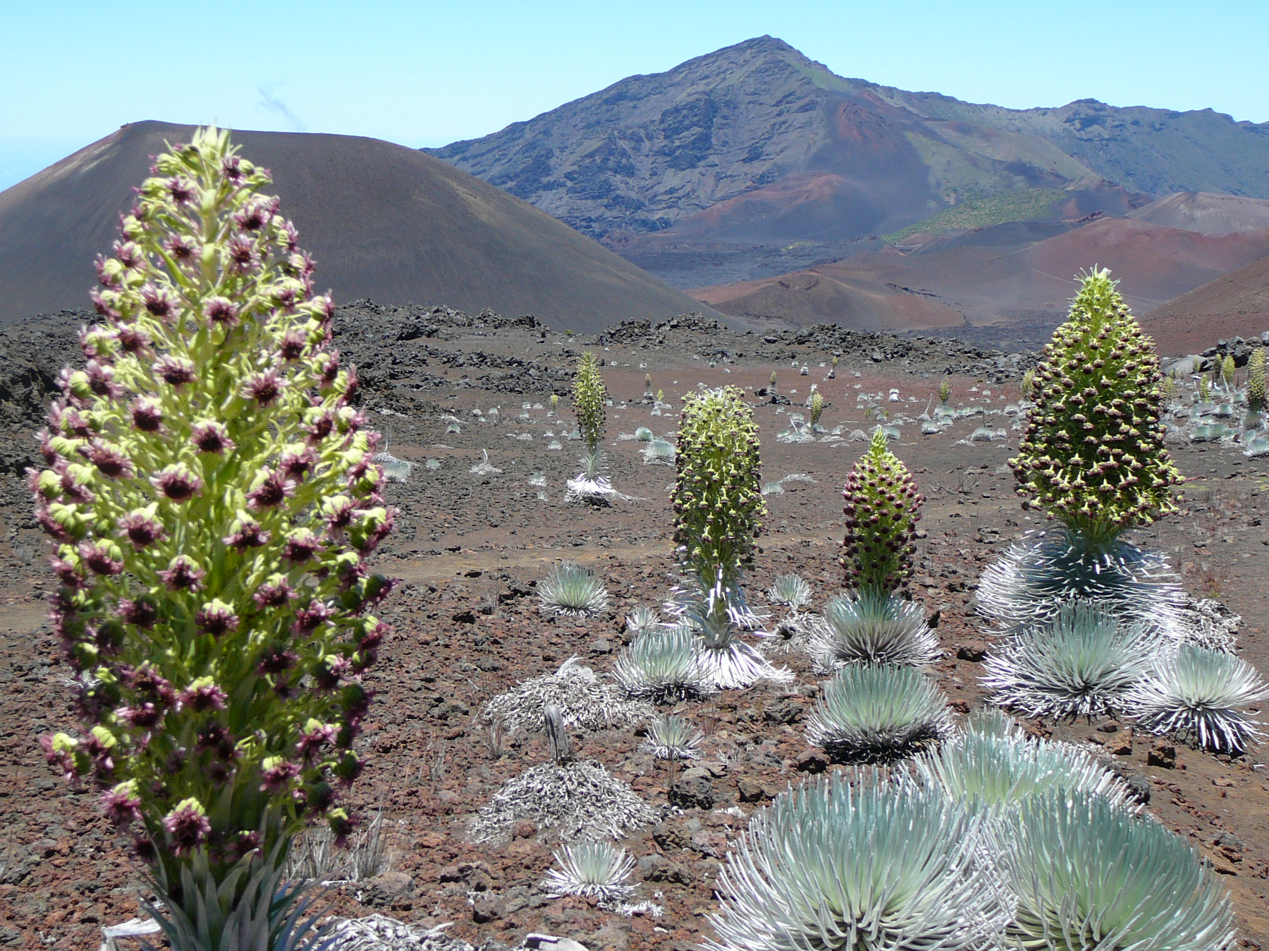 Silversword blooms in the sliding sands landscape