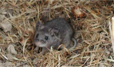 Small, grey mouse sitting in a nest of brown grass