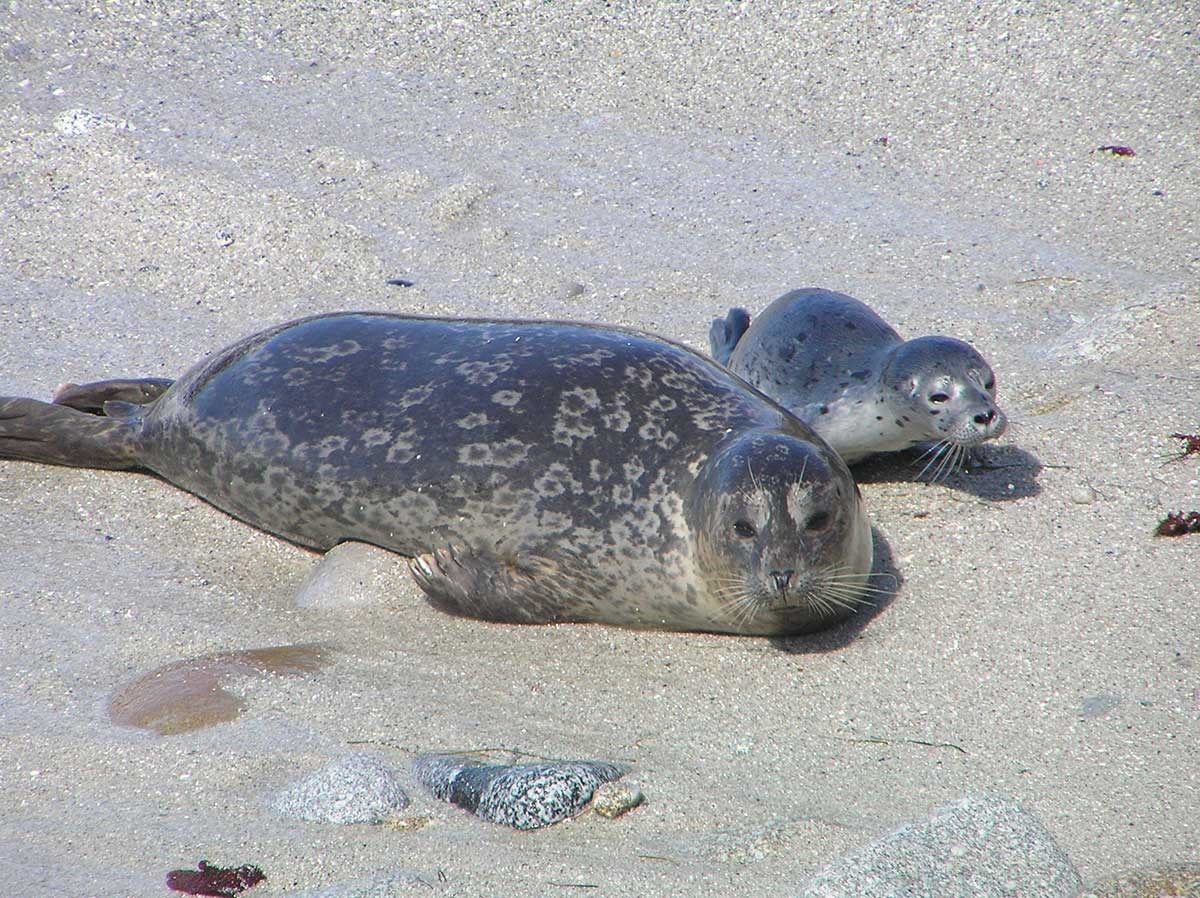 Mother & baby harbor seal on sandy beach