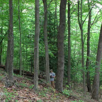 Person recording data in an oak-hickory forest with a single healthy hemlock tree