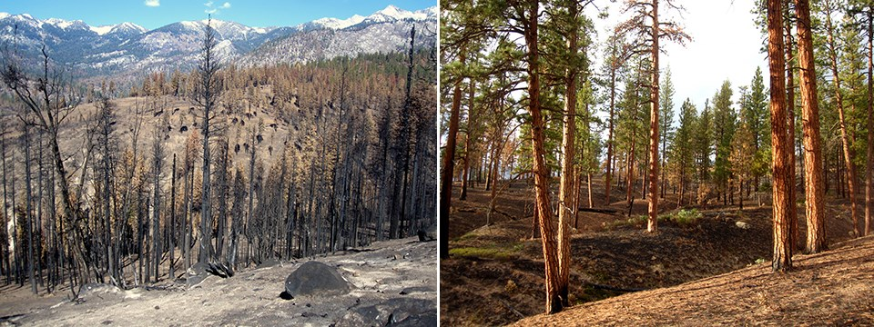 Left: Burned landscape with ash and burned trees. Right: Lightly burned ponderosa pine forest with living trees.