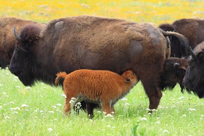 A young, fuzzy calf nurses from its mother
