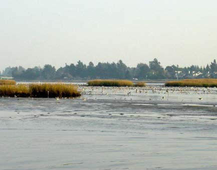 Landscape shot of hybrid cordgrass in San Francisco Bay salt marshes.