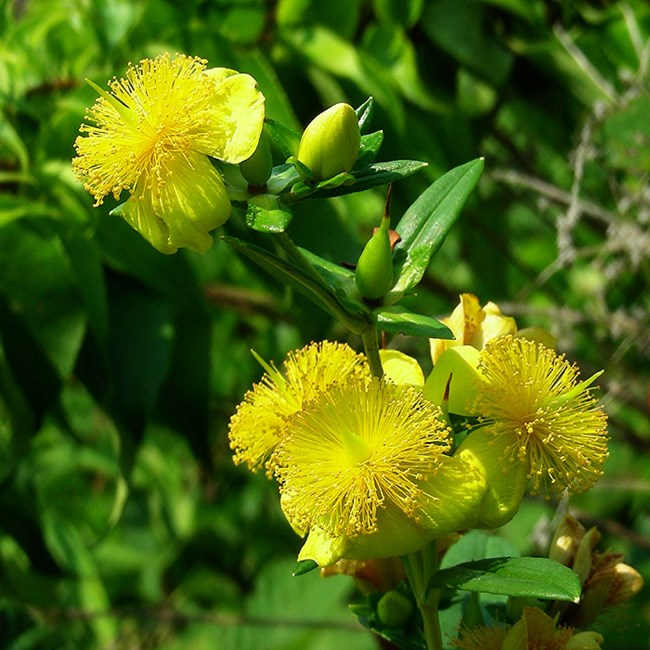 Bright yellow flowers of shrubby cinquefoil