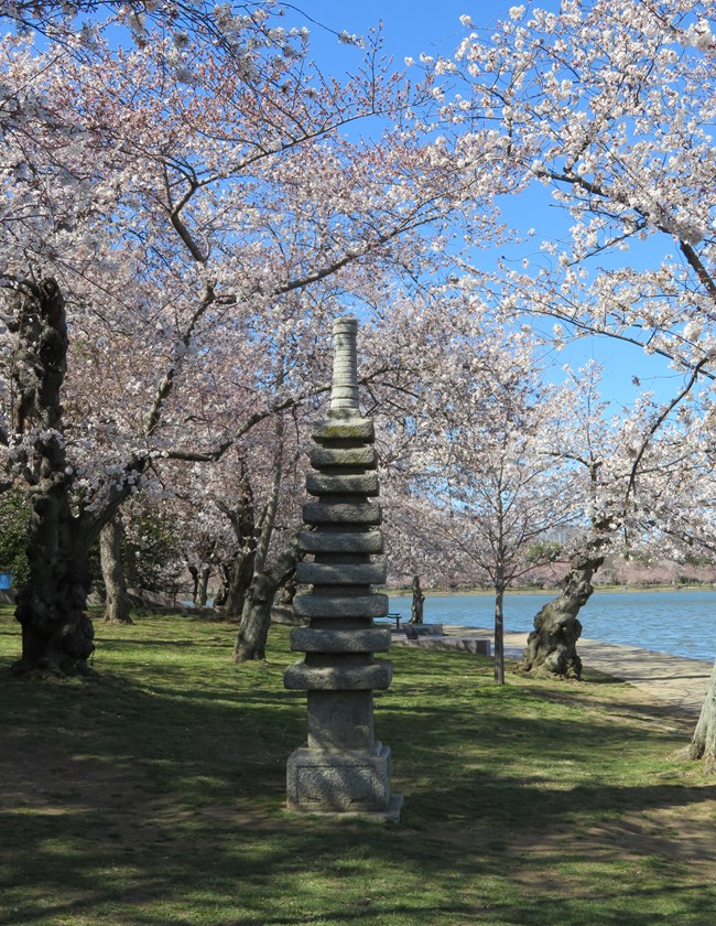 Japanese pagoda surrounded by cherry blossom trees in bloom.