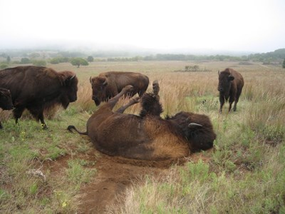 Bison on its back on a spot with only dirt, exhibiting wallowing behavior