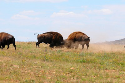 Male bison locking horns and kicking up dust as they spar