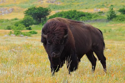 Bison standing in tall green and yellow grass, wind seemingly whipping the hair on its head back