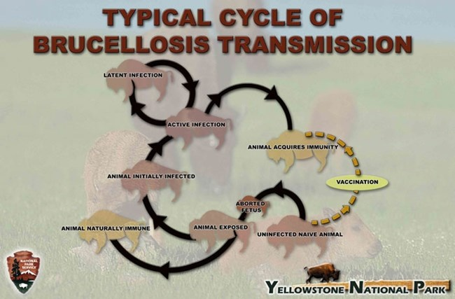 Flow chart showing the typical transmission of brucellosis from bison to bison