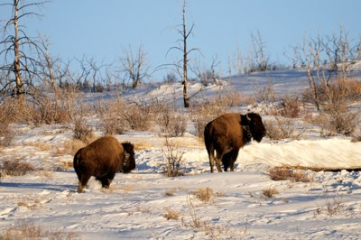 Two bison standing in snow with brown grass pushing through