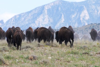 Herd of bison heading away from the camera toward large mountains