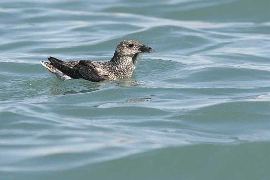 A kittlitz's murrelet holding a fish in water