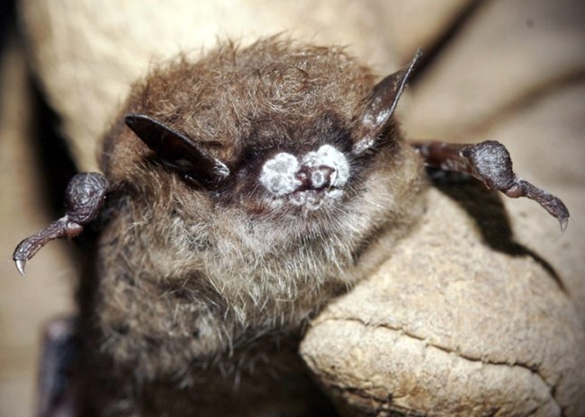 Little brown bat with white fungus on its nose