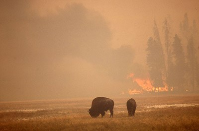 Two bison graze brown grass while a fire burns pine trees in the background