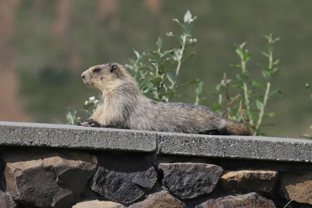 a marmot laying on a rock wall