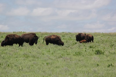 Five adult bison and a calf grave in Tallgrass Prairie