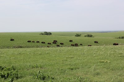 Herd of bison spread out among a green, rolling prairie