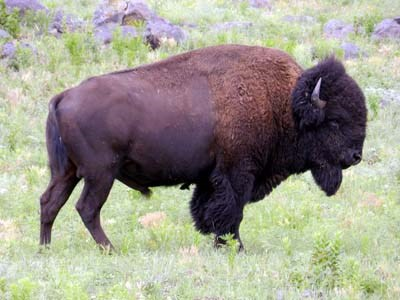 The profile of a bison's full body