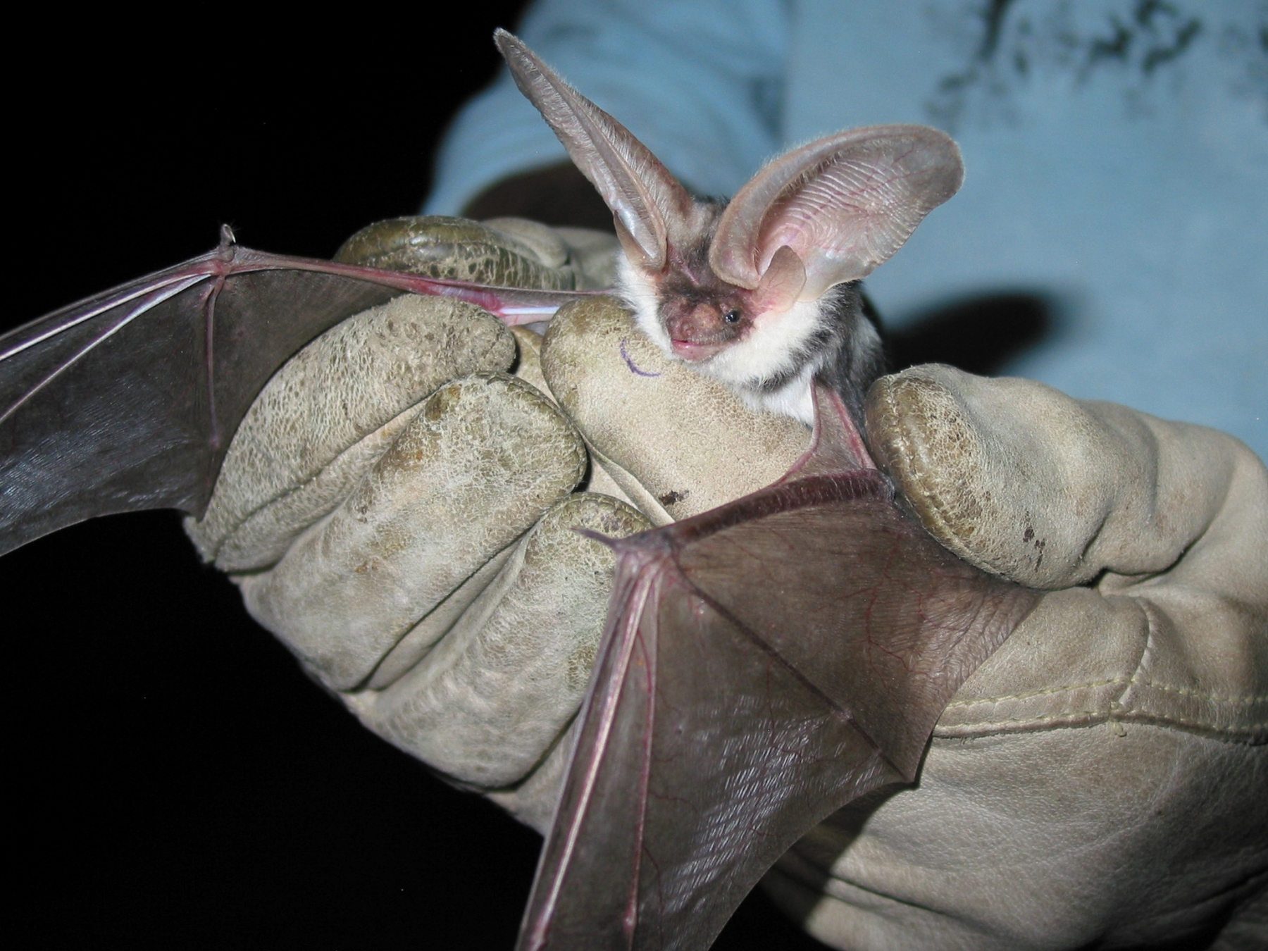 Spotted bat in the hands of a park researcher