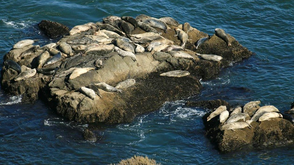 Harbor seals laying on rocks just out of the water