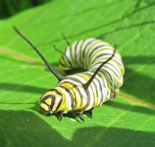 A yellow and black striped caterpillar, or instar, which is the juvenile form of a monarch