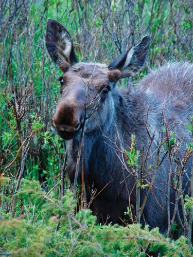 Moose browsing on woody plants.