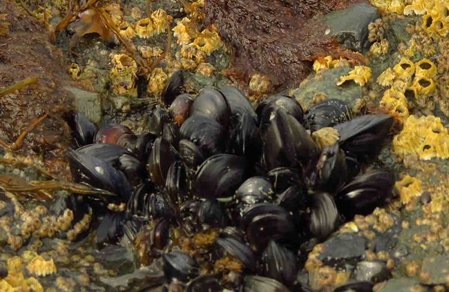 Mussels in the intertidal area.