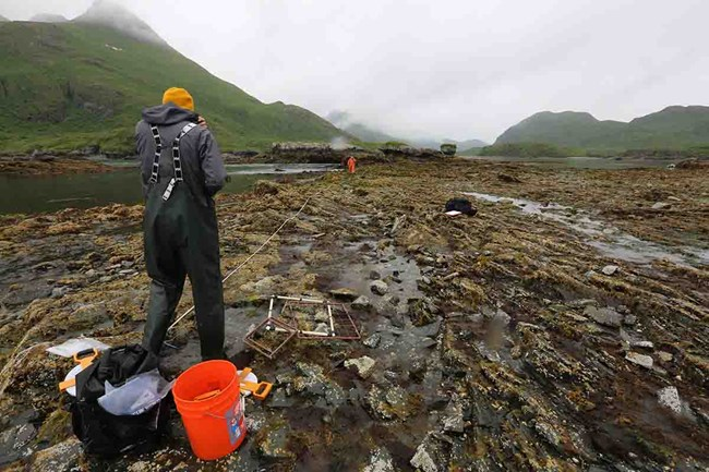 Researchers lay out a sampling transect in the intertidal zone.
