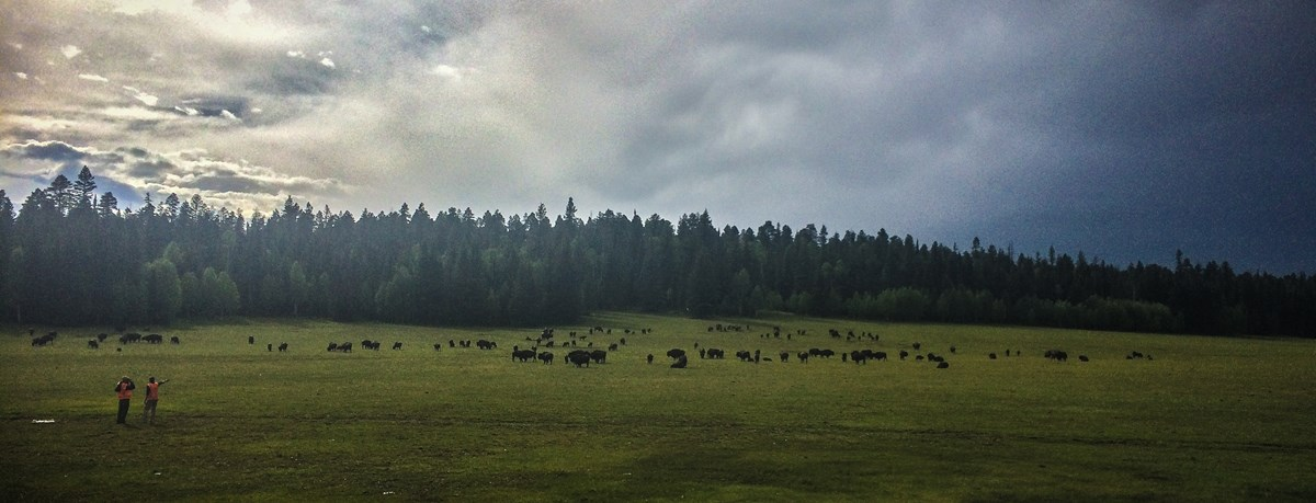 A hundred bison laying in a green field with a lush forest in the background and a sky full of clouds. Two NPS employees stand before the bison, counting the herd.