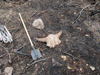 Skull with horns laying in the dirt, next to a shovel