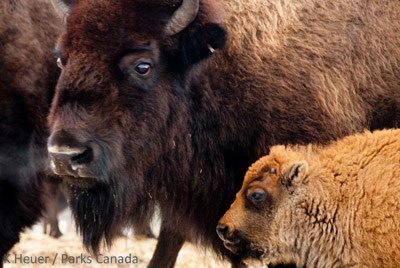Close up of a bison and its calf