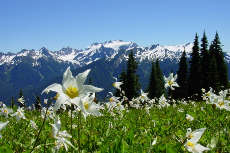 Vista of Olympic Mountains with avalanche lilies