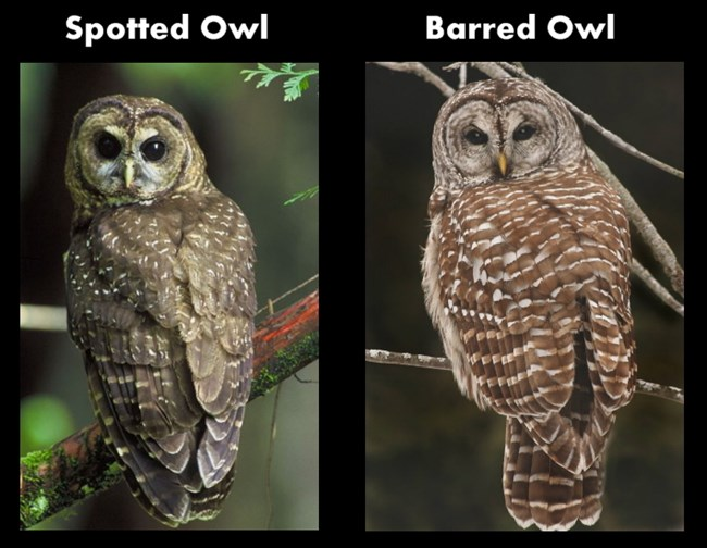 Comparision of the back of the Northern Spotted Owl versus the Barred Owl.