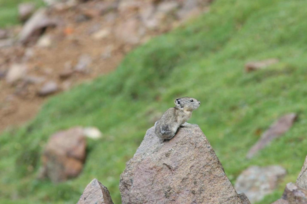 a pika perched atop a rock