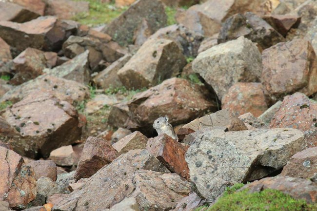 a pika perched among rocks