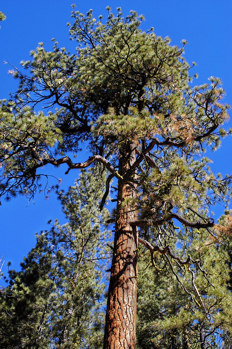 Ponderosa Pine trees are one of the ozone sensitive species found at Grand Canyon NP.