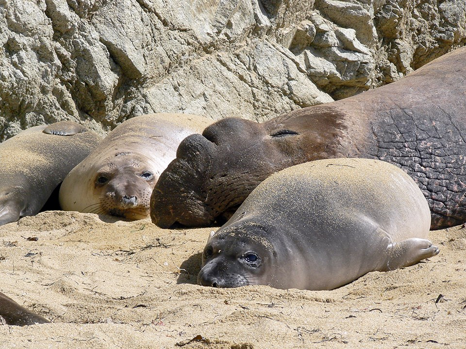Weaned elephant seal pups with a sleeping bull elephant seal at Point Reyes National Seashore.
