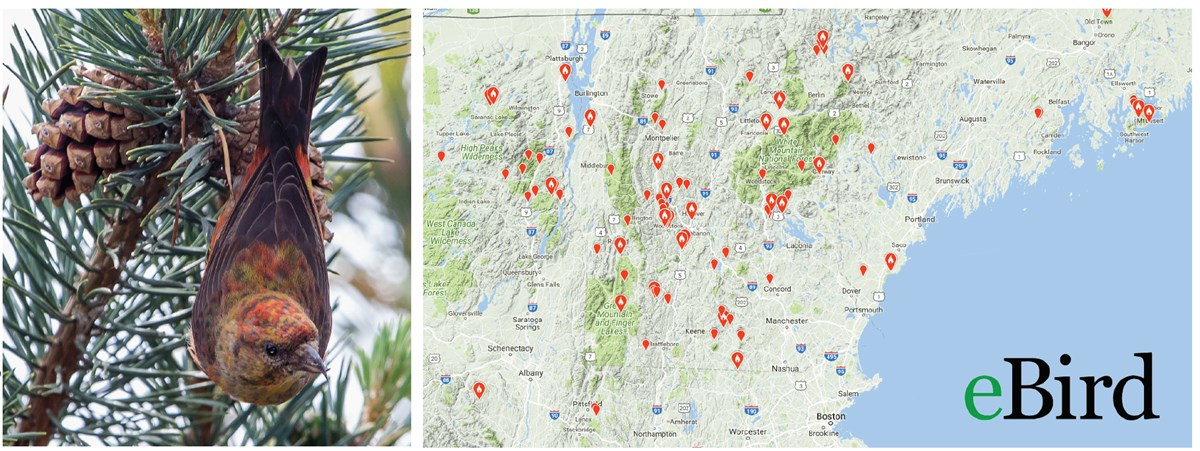 On left: a Red Crossbill hangs from a conifer tree. On right: a map of the northeast US shows many red dots that indicate red crossbill sightings.