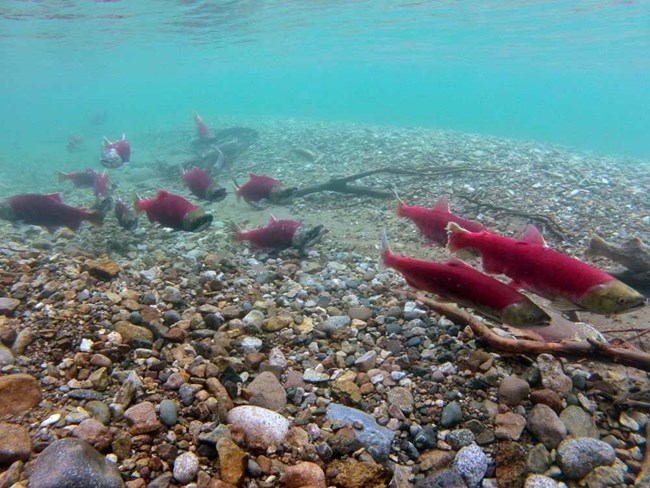 Red salmon swim in turquoise waters of Lake Clark.